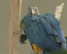 Close up of blue macaw parrots - stock footage