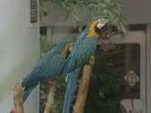 Two parrots perching Stock Footage