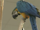 Close up of blue macaw parrot nibbling at another parrot Stock Footage