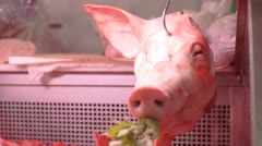Smiling Pig in the Market Stock Footage