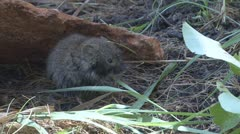 P01649 Long-tailed Vole Eating Grass - stock footage