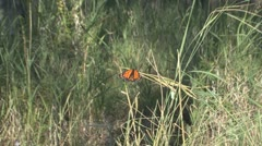 P01650 Newly Emerged Monarch Butterfly Stock Footage