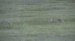P01656 Coyote Family Playing in Prairie Stock Footage