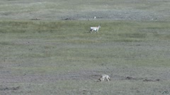 P01657 Coyote and Pronghorn Antelope in Prairie Dog Town - stock footage