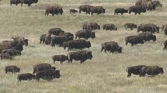 P01663 Large Bison Herd in the Great Plains - stock footage