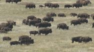 Stock Video Footage of P01663 Large Bison Herd in the Great Plains