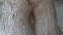 P01665 Red Squirrel Storing Nuts in Tree Cavity Stock Footage