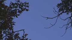 P01666 Fox Squirrel Jumping from Branches in Slow Motion Stock Footage