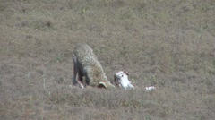 P01667 Coyote Chewing on Bone Stock Footage