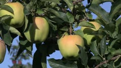 Canada: Apples Ripe for Picking in the Okanogan Valley. - stock footage