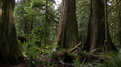 Canada: Large Old Growth Duoglass Firs Stock Footage