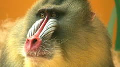 Mandrill Stock Footage