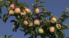 Canada: Apples Ripe for Picking in the Okanogan Valley. Stock Footage