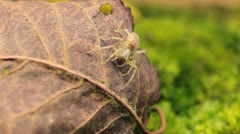 Macro Dangerous Spider on a Leaf, Close-Up, Araneae, Arthropods, Venom - stock footage