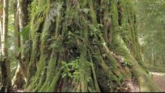 Rainforest tree Stock Footage