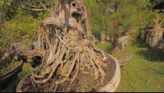 Bonzai tree Stock Footage