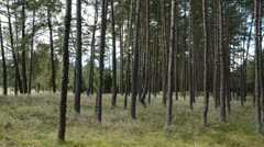 0108 summer end in the reserve pine forest Stock Footage