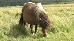 Stock Video Footage of A Pony grazing on Dartmoor