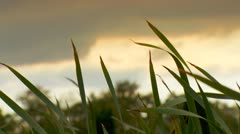 Waving Reed in the evening sun. - stock footage