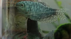 Snail and marble gourami Stock Footage