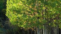 Autumn Aspen Poplars in the Rocky Mountains - stock footage