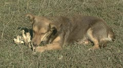 Dog eat bones - stock footage