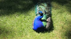 Peacock cleaning plumage Stock Footage