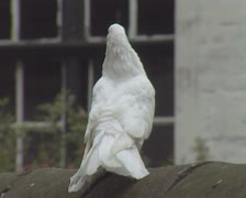 Close up of white pigeon or dove preening itself Stock Footage