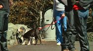 Bassett hound and boston terrier Stock Footage