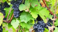 pinot noir vine grapeyard in germany - stock footage