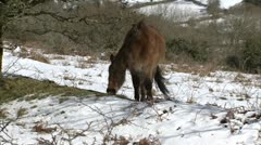 Dartmoor Pony Grazing In Snow Stock Footage