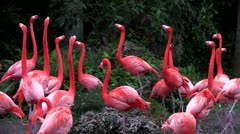 Flamingos flock together in the Everglades. Stock Footage