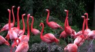 Stock Video Footage of Flamingos flock together in the Everglades.
