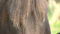Dartmoor Pony Headshot being stroked - stock footage