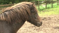 A Headshot of a pouting Dartmoor Pony - stock footage
