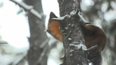 P01708 Pine Marten in Yellowstone National Park Stock Footage
