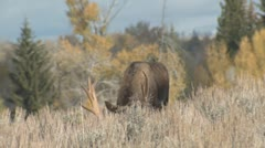 P01715 Bull Moose in Sunlight Stock Footage