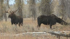 P01717 Bull and Cow Moose at Grand Teton National Park Stock Footage