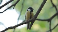Stock Video Footage of Beautiful Great Tit, Parus Major in Nature, Forest, Landscape
