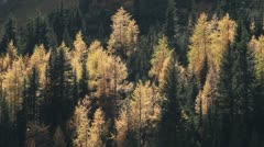 Autumn Larch Trees 03 Stock Footage