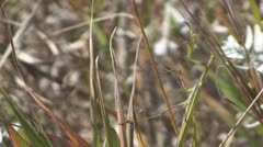P01732 Praying or Preying Mantis in Grass - stock footage