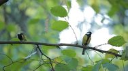 Beautiful Great Tit, Parus Major in Nature, Forest, Landscape Stock Footage