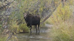 P01736 Cow Moose Standing in Stream Stock Footage
