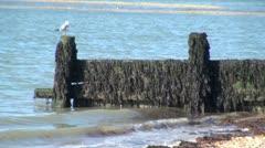 Seagull on Coastal Groyne Stock Footage