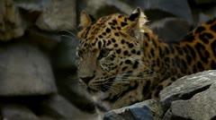 Leopard 3 Stock Footage
