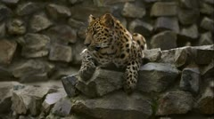 Leopard 2 Stock Footage