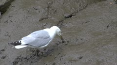 Herring Gull Feeding in Muddy riverbed Stock Footage
