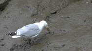 Stock Video Footage of Herring Gull Feeding in Muddy riverbed