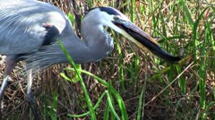 A bird catches and eats a fish in an Everglades swamp. - stock footage