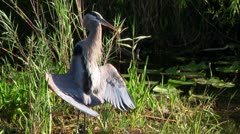 A bird in an Everglades swamp adopts a mating posture. Stock Footage